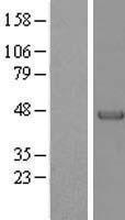 NBL1-14120 - Parvin alpha Lysate