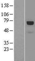 NBL1-15014 - Paxillin Lysate