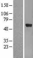 NBL1-10359 - Pea3 Lysate
