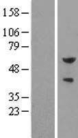 NBL1-10360 - Pea3 Lysate