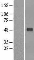 NBL1-14282 - Pellino 1 Lysate