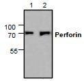 NBP1-45775 - Perforin 1 / PRF1