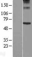 NBL1-14750 - Perforin Lysate
