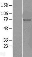 NBL1-13882 - NUP85 Lysate