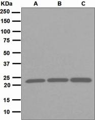 NBP1-95676 - Peroxiredoxin-1 / PRDX1