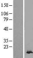 NBL1-14739 - Peroxiredoxin 2 Lysate