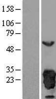 NBL1-14740 - Peroxiredoxin 3 Lysate