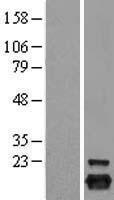 NBL1-14742 - Peroxiredoxin 5 Lysate
