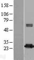 NBL1-14741 - Peroxiredoxin-4 Lysate