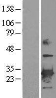 NBL1-14743 - Peroxiredoxin-6 Lysate