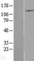 NBL1-14417 - Phosphatidylinositol 3-Kinase catalytic subunit alpha Lysate