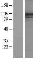 NBL1-14382 - Phosphatidylinositol 4 kinase III alpha Lysate