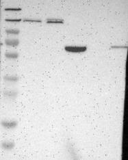 NBP1-84427 - Myomegalin
