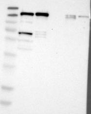 NBP1-84428 - Myomegalin