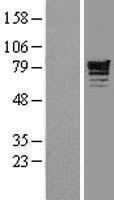 NBL1-14223 - Phosphodiesterase 4D Lysate