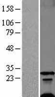 NBL1-10875 - Phospholemman Lysate