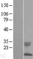 NBL1-10876 - Phospholemman Lysate