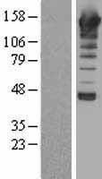 NBL1-14488 - Phospholipase C beta 1 Lysate