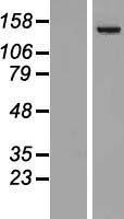 NBL1-14489 - Phospholipase C beta 4 Lysate