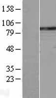 NBL1-14490 - Phospholipase C delta 1 Lysate