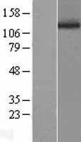 NBL1-14494 - Phospholipase D1 Lysate