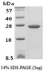 NBC1-18384 - Phosphoserine phosphatase