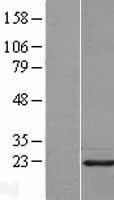 NBL1-14428 - Pin1 Lysate