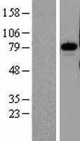 NBL1-14551 - Pinin Lysate