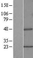 NBL1-14438 - Pipecolic acid oxidase Lysate