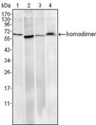 NBP1-51604 - RCHY1 / PIRH2