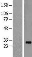 NBL1-15244 - Pirh2 Lysate