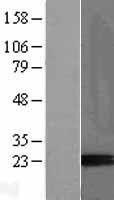 NBL1-14063 - Placental Protein 14 / Glycodelin A Lysate