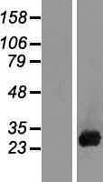 NBL1-09522 - Placental lactogen Lysate