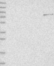 NBP1-90041 - Plakophilin 1 / PKP1