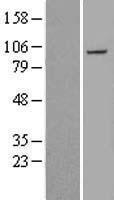 NBL1-14467 - Plakophilin 2 Lysate