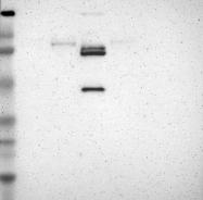 NBP1-87711 - KLKB1 / Kininogen