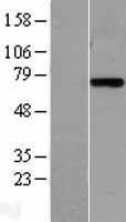 NBL1-12359 - Plasma Kallikrein 1B Lysate
