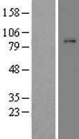 NBL1-14513 - Plasminogen Lysate