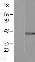 NBL1-14499 - Pleckstrin Lysate
