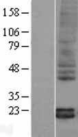 NBL1-14957 - Pleiotrophin Lysate