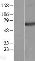 NBL1-14533 - Plexin A4 Lysate