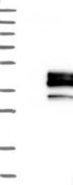 NBP1-90211 - Podoplanin