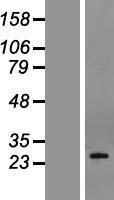 NBL1-14262 - Podoplanin Lysate