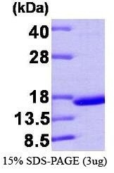 NBP1-37075 - Transthyretin / Prealbumin