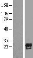 NBL1-08739 - Precerebellin Lysate