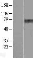 NBL1-14860 - Presenilin 1 Lysate