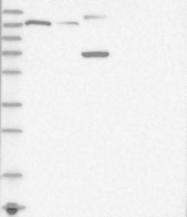 NBP1-90918 - PROSAPIP1