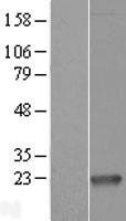 NBL1-13064 - Proapoptotic Caspase Adaptor Protein Lysate