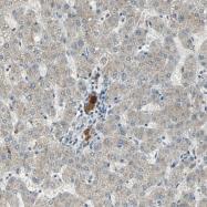 NBP1-86509 - Protein C / PROC