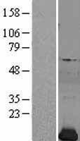 NBL1-14319 - Profilin 2 Lysate